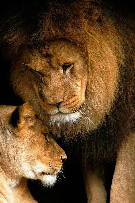 African lions sweet moment