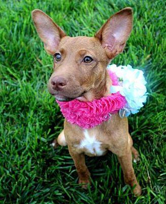 Fort Wayne In Doberman Pinscher Meet Valentine A Dog For