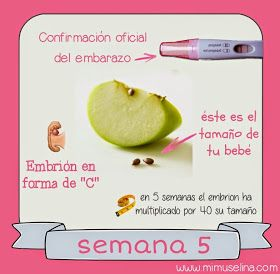 tamaño de embrion a las 6 semanas