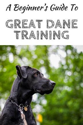 A Beginner S Guide To Great Dane Training Dog Training Dog