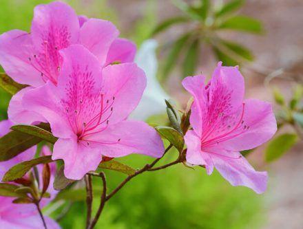 Azalea Journalphoto Azalea Flower Flower Meanings Flowers