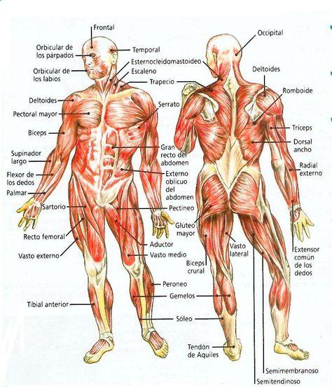 Estructura Muscular Humana Cuerpo Humano Dibujos Y
