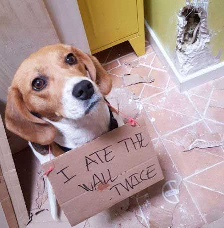 19 Silly Dog Shaming Images A Quick Way To Smile Beagle Dog