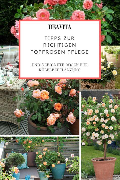 Tipps Zur Richtigen Topfrosen Pflege Und Geeignete Rosen Fur