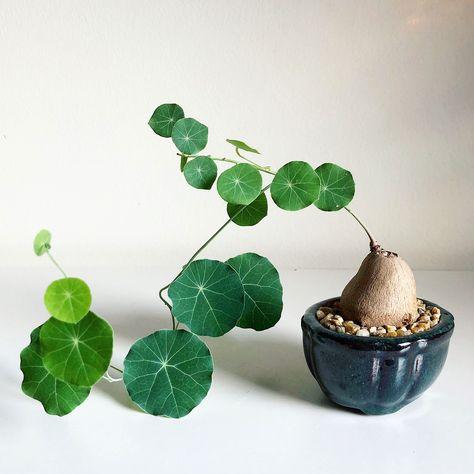 Bonsai Seeds Flower Plant Room Araliaceae Fatsia Japonica House Garden Pot Art