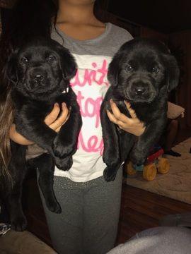 Labrador Retriever Puppy For Sale In Othello Wa Adn 64754 On Puppyfinder Com Gender Male A Labrador Retriever Puppies Labrador Retriever Labrador