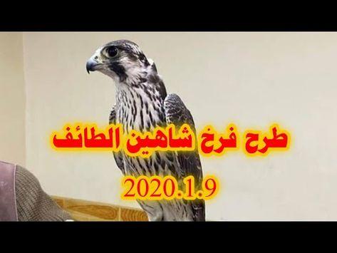 طرح فرخ شاهين بحري الطائف 2020 1 9 Youtube Falcon Hunting Hunting Falcons