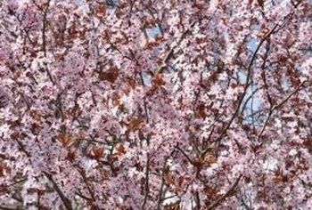 Good Pollinators For Bing Cherry Trees Bing Cherries Fruit Tree Nursery Cherry Tree