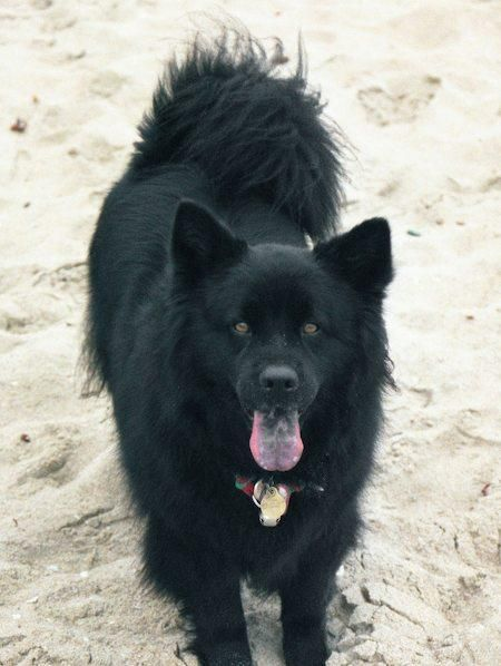 Moonshadow The Chow Lab Mix Pictures 8030 American Eskimo Dog