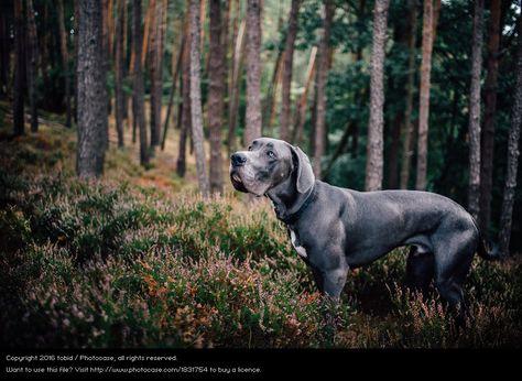 Deutsche Dogge Brown Dog In Fores German Dane Hunde Fotos