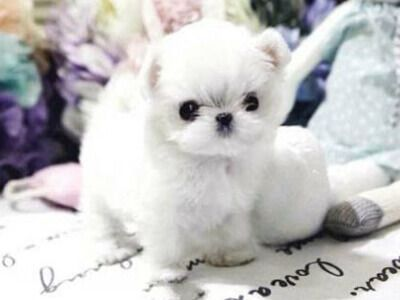 All Puppies For Sale Microteacups Posh Pocket Pups Maltese Maltese Puppy Puppies