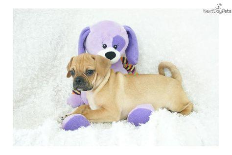 Puggle Puppy For Sale Near Springfield Missouri B3bcd3e3 4901