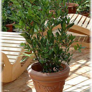 Lorbeer Laurus Nobilis Pflanzen Echter Lorbeer Eisenholzbaum
