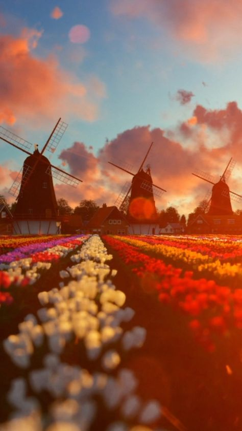 Amazing live #wallpaper for your iPhone XS from Everpix #netherlands #tulips #flowers #flowerfield