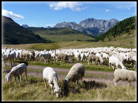 Pecore di montagna di Picco Luigino