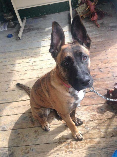 Where To Get German Shepherd Rescue Nj Puppies Bulldog Puppy