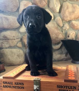 Our Labradors For Sale Sundance Retrievers 2020 Labrador