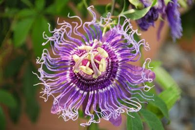 Wild Passionflower Tea Water Therapy Blue Passion Flower Passion Flower Tea Passion Vine