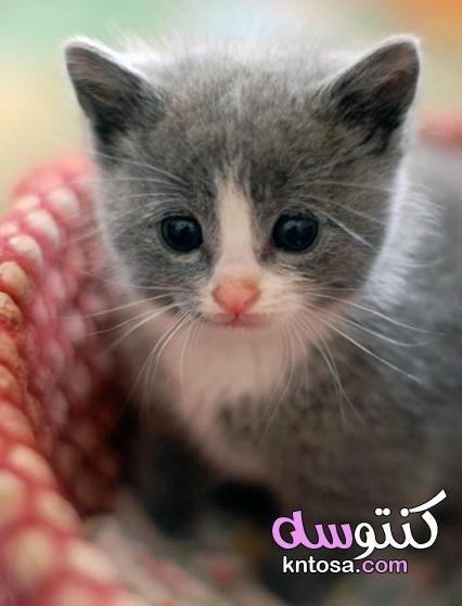 اجمل قطة في الكون قطط روعة قطط جميلة اجمل واروع صور قطط صغيرة Cute Cats ستراها في حياتك Kntosa Com 10 19 156 Kittens Cutest Cute Baby Animals Cute Animals
