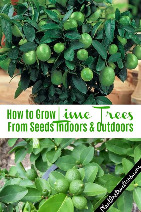 How to Grow Lime Trees #limetrees #gardening #fruitgarden #howtogrow #fruits