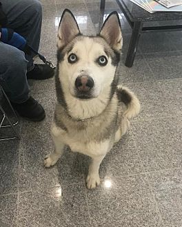 Angola In Hurricane Is A Husky For Adoption Who Needs A Loving