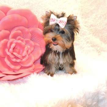 Female Yorkies For Sale Yorkie Puppies Sale Elvis Yorkshire