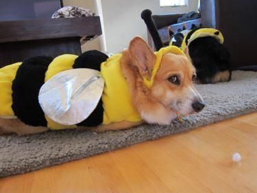 Newsflash Corgi Bees Are On The Loose At Queenscorgi Tumblr Com