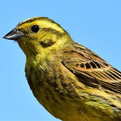 Yellowhammer  #Nature #Wildlife #Birds #Yellowhammer #instagram #Photography #allnatureshots #bestbirdshots #birdphotography #birdsofinstagram #earth_unlocked #nikon #bestbeautifulbirds #yellow #closeup #portrait #colors_of_day #Beautiful #colourful #best_birds_of_world #eye_spy_birds