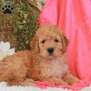Mini Goldendoodle Puppies For Sale Greenfield Puppies Mini Goldendoodle Puppies Goldendoodle Goldendoodle Puppy