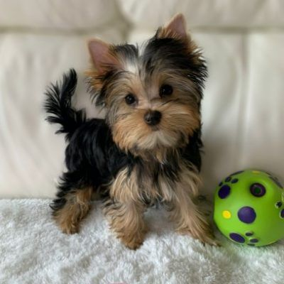 Pin By Noreen Alvarez On Projects To Try In 2020 Teacup Yorkie Puppy Teacup Puppies Yorkie Puppy