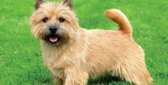 30 Small Hypoallergenic Dogs That Don T Shed Terrier Dog Breeds