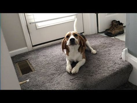 Beagle Puppy From 10 Weeks To 10 Months Youtube Beagle Puppy