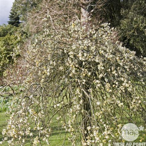 Salix Caprea Kilmarnock H 60 Cm Pot D17cm Autres Marques