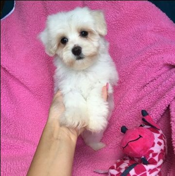 Havanese Puppy For Sale In Houston Tx Adn 37555 On Puppyfinder Com Gender Female Age 8 Weeks O Havanese Puppies Havanese Puppies For Sale Puppies For Sale