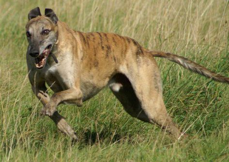Top 20 Indian Dog Breeds Purchasing Price And Care Dogs Dog