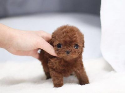 Teacup Poodle For Sale Micro Poodle Puppies For Sale Microteacups In 2020 Micro Poodle Poodle Puppies For Sale Tea Cup Poodle