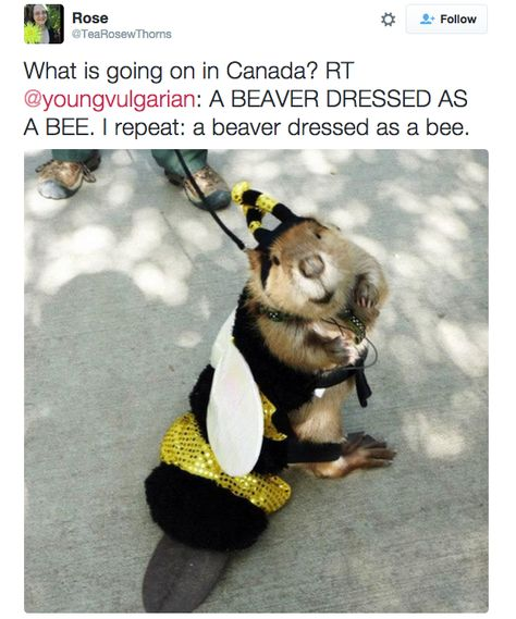 Pet Beaver Dressed as a Bee 21 Pictures That Prove That Canada Is Not A Real Country Cute Funny Animals, Funny Animal Pictures, Funny Cute, Hilarious, Punk Disney, Disney Fan Art, Animals And Pets, Baby Animals, Tumblr Funny