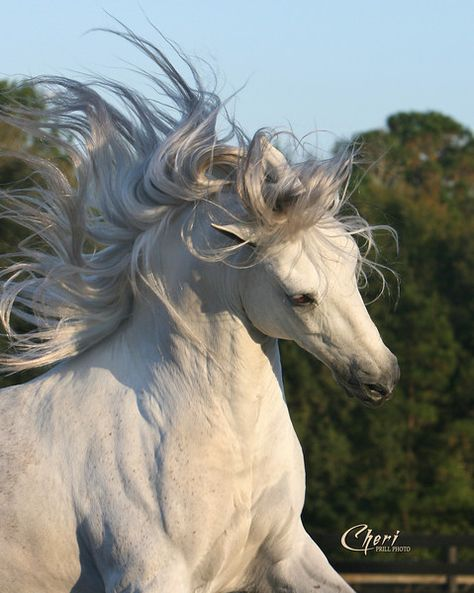 Paso Fino Stallion, Conprometido de Diana. Photo by Stunning Steeds