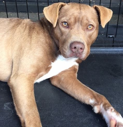 Boweimar Dog For Adoption In Houston Tx Adn 473569 On