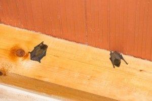 Pin On Bats In Attic