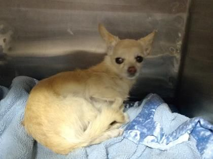 Tbd Super Urgent 37512942 Chihuahua Young Located In El