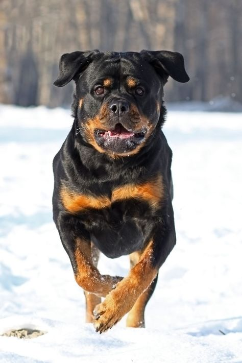 The 15 Best Guard Dogs To Protect Your Family And Home Best Guard Dogs Rottweiler Dog Guard Dogs