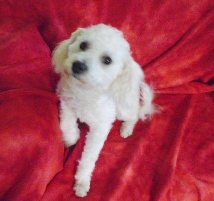Bichon Frise puppy for sale in WINSTON SALEM, NC  ADN-70616
