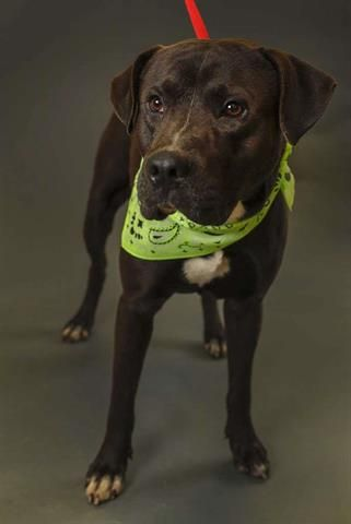 5 4 19 Urgent Macky Id A531394 I Have An Adoption Hold My Name Is Macky I Am Male I Look Animal Shelter Humane Society American Pitbull Terrier