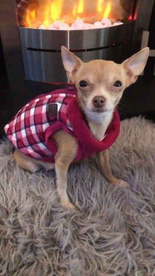 Chihuahua Puppies For Sale Birmingham West Midlands