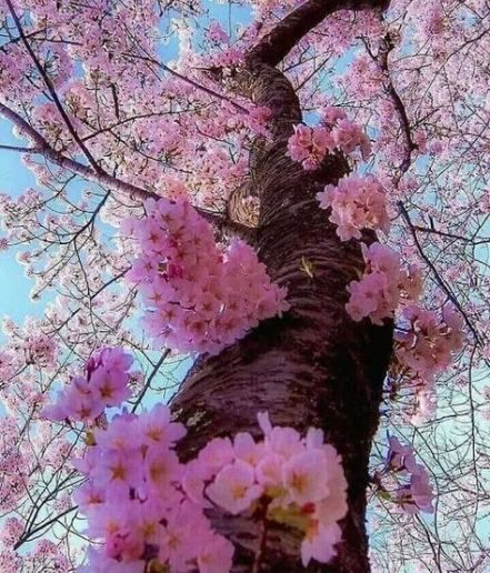 31 Ideas Tree Pictures Photography Cherry Blossoms Purple Flowering Tree Blossom Trees Purple Succulents