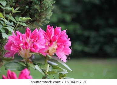 Rhodondron Blooms Pink In Nature Azalea Background Beautiful Beauty Bloom Blooming Blossom Botanical Bush Catawba In 2020 Pink Nature Bloom Pink