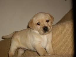 Kci Registered Labrador Retriever Puppies For Sale Through All Over India Golden Retriever Puppy For S In 2020 Labrador Retriever Puppies Labrador Retriever Retriever