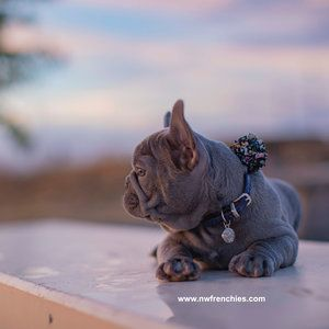 First Time Frenchie Owner Advice Bulldog Puppies Puppies