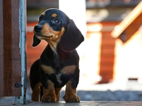 50 Photos of Dachshund Puppies That Are So Cute, I'm Having Trouble Breathing Normally | The Dodo #dog #Retriever #puppy